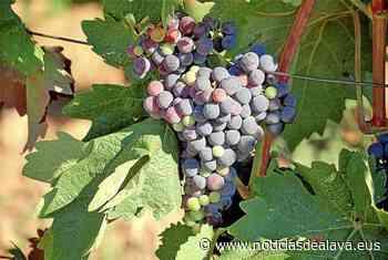 El Rioja y el Txakoli hacen frente a los riesgos del mildiu y el oidio - Noticias de Alava