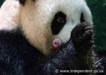 'Lively, pink and plump': Giant Panda twins born at French zoo