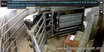 Slaughterhouse Exposed for Abusing Animals [Video] - One Green Planet