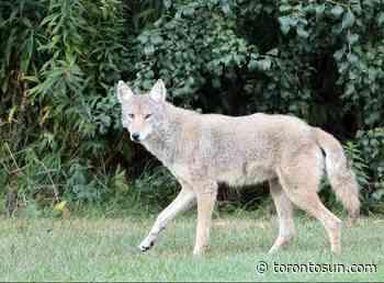 BRAUN: Illegal feeding of wild animals puts Scarborough coyote's life in jeopardy - Toronto Sun