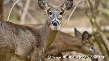 Wild U.S. deer found with coronavirus antibodies - National Geographic