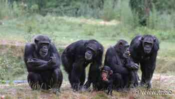 Wenn Schimpansen töten - fr.de