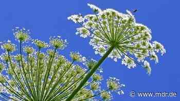 Bärenklau - Das müssen Sie über die giftige Pflanze wissen - MDR
