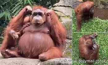 VIDEO: Orangutan wears zoo visitor's sunglasses after they fell into her enclosure in Indonesia