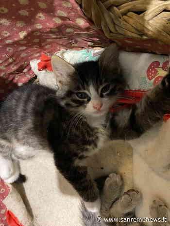 Sanremo: un bellissimo gattino di 55 giorni cerca casetta - SanremoNews.it