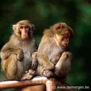 Voor het eerst in 70 jaar vrouwelijke leider van Japanse makakenkudde