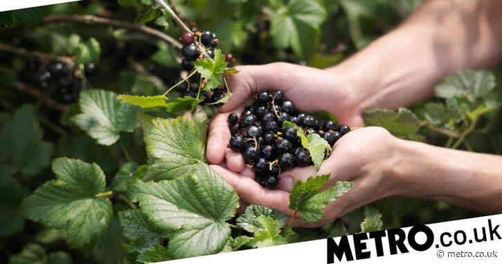 Why were blackcurrants banned in America?