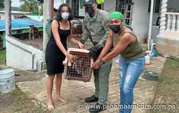 MiAmbiente rescata un venado cautivo en una residencia en Santa Rita Arriba, Colón - Panamá América