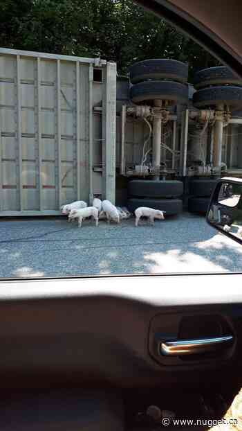 Residents help recover piglets after highway rollover