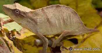 One of the world's rarest chameleons, feared extinct, is found alive     - CNET