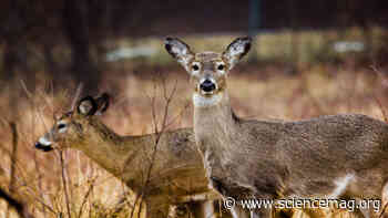 Wild deer have coronavirus antibodies - Science Magazine