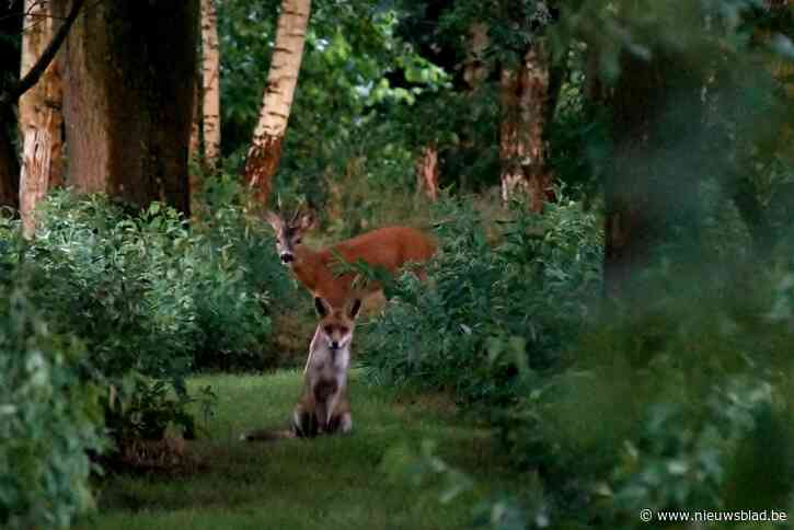 """Jonge reebok en vos poseren voor Vlaamse hobbyfotografe: """"Ik zat net in een levend dierensprookje"""""""
