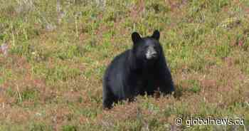 Bear euthanized after officials determine it was likely behind woman's death in northern Alberta