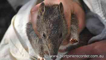 Bandicoots return to outback NSW area - The Recorder