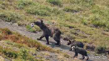 Calgary naturalist recounts memorable sighting of grizzly bear family