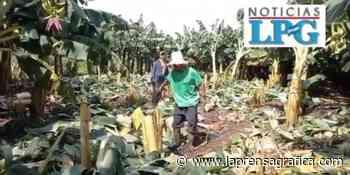 Lluvias destruyen al menos 2,000 plantas de plátanos en Jiquilisco, Usulután - La Prensa Grafica