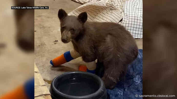 'Tamarack' Baby Bear Cub Burned In Fire Escapes From Tahoe Wildlife Facility