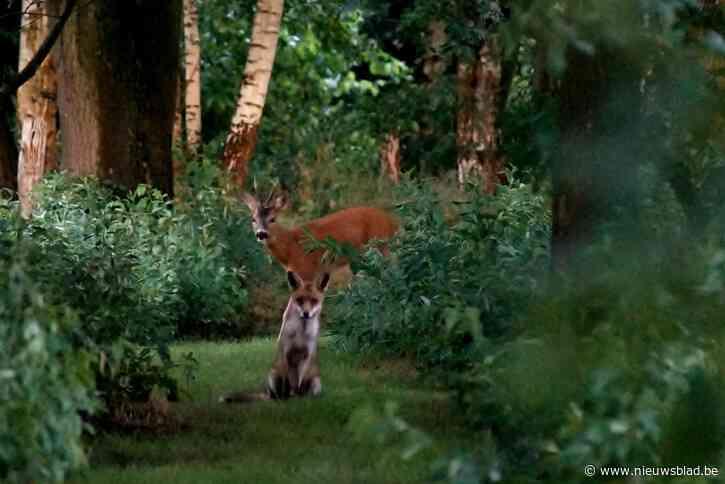 """""""Ik kon mijn ogen niet geloven toen ik het zag"""": Vlaamse kan vos én reebok samen fotograferen in bos"""