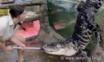Feeding time at California zoo goes awry when reptile called Darth Gator makes a break for freedom