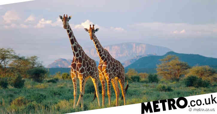 Giraffe society is a lot more complex than you thought