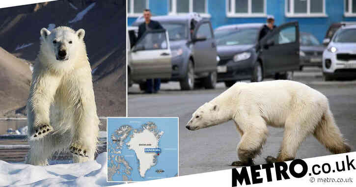 'Problematic' polar bear may be shot after heatwave drives it closer to humans