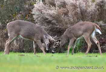 Up to 40% of wild deer population in US exposed to coronavirus, study finds