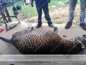 Campesino envenena a jaguar por matar a su burro en San Mateo Piñas, Oaxaca. » Diario Chiapas Hoy - Chiapas Hoy