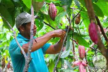 Impulsarán producción cacaotera en Valencia con $14.900 millones de OCAD Paz - LA RAZÓN.CO