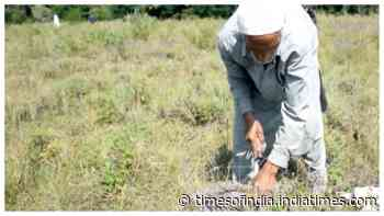Aromatic plant cultivation offers employment opportunities in J&K