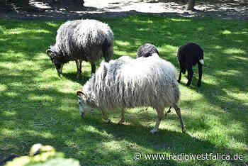 Freilaufender Schafsbock in Stolzenau unterwegs - Radio Westfalica