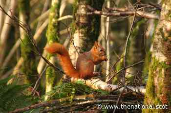 'Natural strongholds' across Scotland may protect red squirrels, study shows - The National