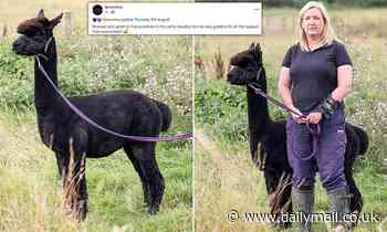 Geronimo the alpaca's 30-day 'kill window' begins with a stand-off between its owner and government