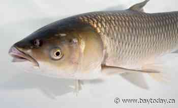 Ontario anglers asked to watch out for the Asian Grass Carp