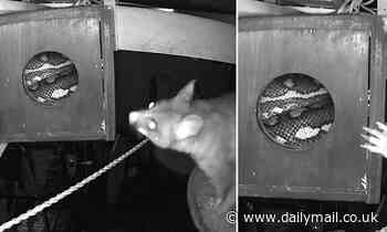Snakes alive! Brave possum finds a VERY unwanted visitor inside his Brisbane home