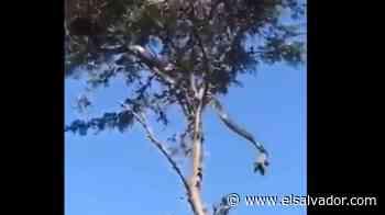 VIDEO: Serpiente de más de 3 metros sorprende a pobladores en Chirilagua - elsalvador.com