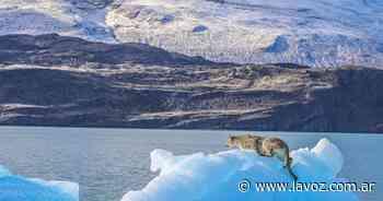 """El """"puma del iceberg"""" se fue nadando en El Calafate - La Voz del Interior"""