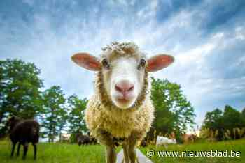 Zes uitgebroken schapen lopen achtertuin in - Het Nieuwsblad