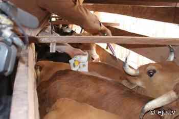 El Senasag en Villamontes vacunará a 141 mil cabezas de ganado para prevenir la rabia - eju.tv