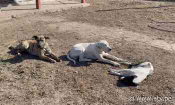 Denuncian envenenamiento masivo de perros en el Callao - ATV.pe