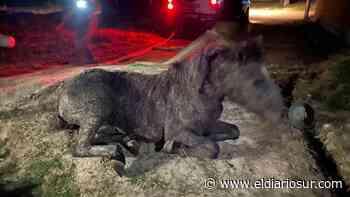 Monte Grande: rescataron a un caballo atrapado en un pozo ciego - El Diario Sur