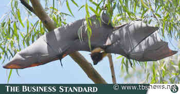 Bats gorge on Debdaru fruit and 'grin in their sleep'! - The Business Standard