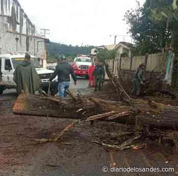 Precipitaciones generan caídas de árboles en Boconó - Diario de Los Andes