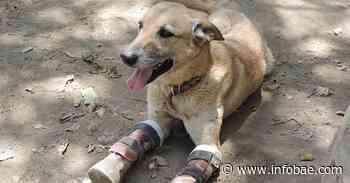 """La conmovedora historia de """"Pay de Limón"""": el perro mutilado por los Zetas y rescatado por el albergue que colapsó en Xochimilco - infobae"""