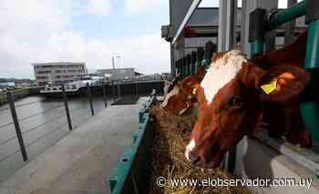 Ganadería y lechería en una granja flotante de vacas en Holanda - El Observador