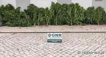 GNR apreende oito pés de canábis em Palmela - Região Sul