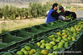 El precio en origen del limón cae un 26,3% semanas antes de comenzar la nueva campaña - Agrodiario
