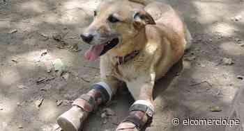 """""""Pay de Limón"""", el perro mutilado por Los Zetas que sobrevivió al derrumbe del albergue que lo rescató en México - El Comercio Perú"""