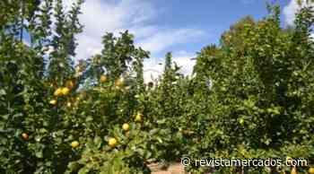 El precio en origen del limón no supera los 35 cént./kg según el MAPA - Revista Mercados