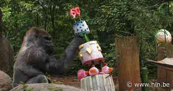 Oudste mannelijke gorilla (60) in gevangenschap heeft corona | Coronavirus verspreidt zich | hln.be - Het Laatste Nieuws