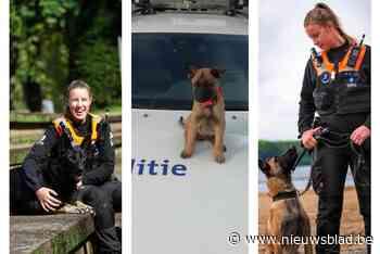 Kleine Stitch is uitgegroeid tot volwaardige politiehond die gepensioneerde Kaylee moet vervangen